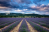 Rustrel Lavender Fiels Provence France-077