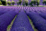 Lavender Field Provence France-078